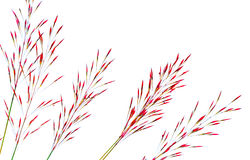 Reeds of grass isolated on white background Royalty Free Stock Photo