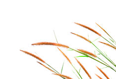 Reeds of grass isolated on white background Stock Photo