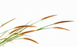 Reeds of grass isolated on white background Stock Photos