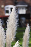 Reeds grass, red blurred house in background. London, Europe Royalty Free Stock Photos