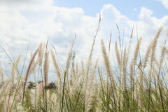 Reeds of grass and sky Stock Photography
