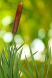 Reeds on a green background Stock Photography