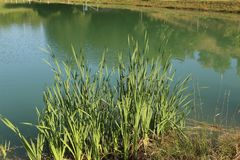 Reeds grow on the lake Stock Photos