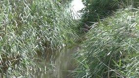 Reeds growing along a river bank stock video