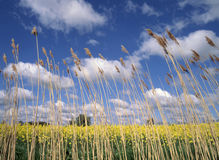 Reeds growing beside flowering crop of oil seed rape Essex England Royalty Free Stock Image