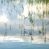 Reeds growing in the lake. Calm lake with reeds growing along the shore and in the water Stock Photo