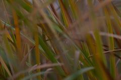 Reeds growing in marsh royalty free stock image