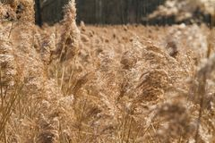 Reeds growing Royalty Free Stock Photography
