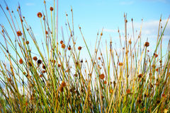 Reeds growing near foreshore. Reeds and seedheads shallow depth of field growning near foreshore, closeup against sky Stock Photo