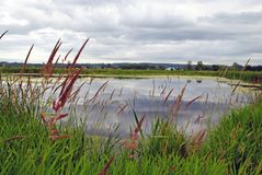 Reeds growing by the pond Stock Photography