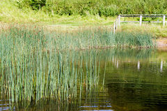Reeds growing in a pond Royalty Free Stock Images