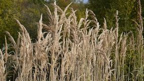 Reeds growing in the wind stock video