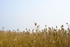 Reeds in harvest time. The Reeds in the end of automn Stock Photography
