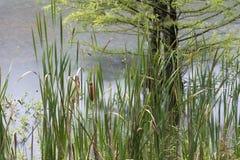 Reeds, hemlock and rain Stock Photography