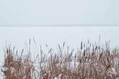 Free Reeds In The Snow On The Shore Of A Frozen River Royalty Free Stock Images - 85539349