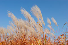 Reeds In Wind Stock Images