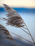 Reeds inflorescence Stock Images