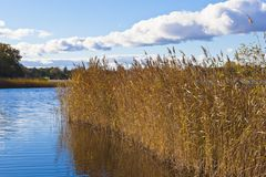 Reeds in the lake Stock Photos