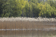Reeds in the lake Stock Image
