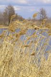 Reeds in the lake. Reeds by closeup in the lake by early spring Royalty Free Stock Photography