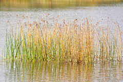 Reeds in lake. Scenic view of lake with tall reeds in foreground Royalty Free Stock Images