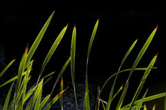 Reeds at lake against light Royalty Free Stock Photos