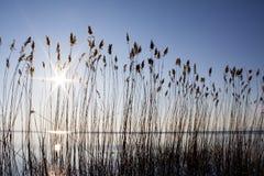 Reeds on the lake bank Stock Photos