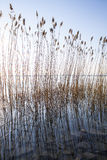Reeds on the lake bank Stock Photography