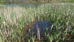 Reeds among the lake. Beautiful large lake surrounded by small marshes Royalty Free Stock Image