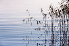 Reeds on the lake Stock Images