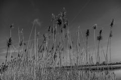 Reeds by the Lake Royalty Free Stock Photo