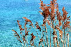 Reeds on lake with blue Swiss water in Geneva, Switzerland. peaceful aqua. royalty free stock image