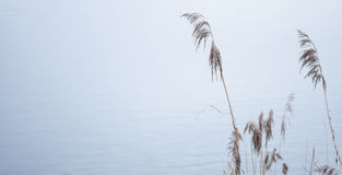 Reeds in a lake with calm water royalty free stock photo