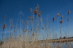 Reeds by the Lake Royalty Free Stock Image