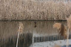 Reeds by the Lake Duck Royalty Free Stock Image