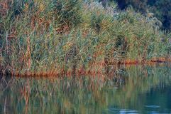 Reeds in the lake edge reflecting on water. Kaiafas lake at wstern Peloponnese, Greece royalty free stock photos