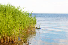 Reeds on the lake Royalty Free Stock Photography