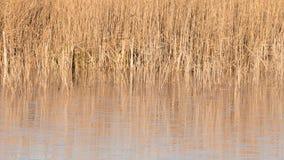 Reeds at a lake Royalty Free Stock Photo