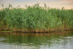 Reeds by the lake. Landscape with reeds and lake in the evening Stock Photos