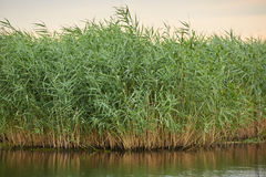 Reeds by the lake. Landscape with reeds and lake in the evening Stock Image