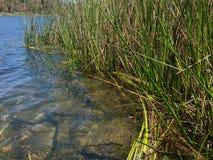 Reeds in Lake Miramar Royalty Free Stock Image
