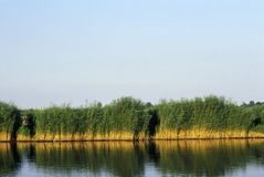 Reeds at the lake Neusiedl Stock Photography