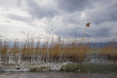 Reeds on the lake Ohrid on a windy day. Yellow-brown reeds in the lake on windy day in the water of Ohrid lake royalty free stock photo