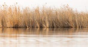 Reeds on Lake Outdoors Royalty Free Stock Image