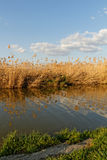 Reeds at the lake Stock Photography