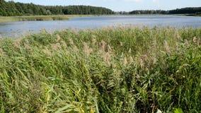 Reeds at a lake stock video