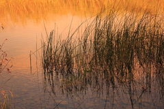 Reeds. Lake and reed with orange tones Stock Photos