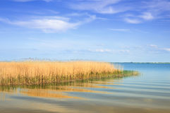Reeds on lake shore  Royalty Free Stock Photos