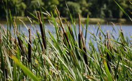 Reeds at the lake shore, selective focus. Blue water Stock Images