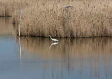 Reeds by the Lake Snow Egret Royalty Free Stock Image